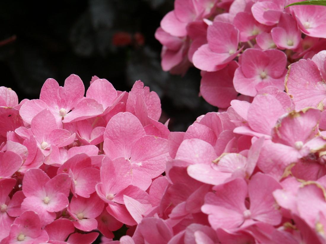 de Buitenkamer tuinontwerp, Grave, roze tuin in Millingen 5