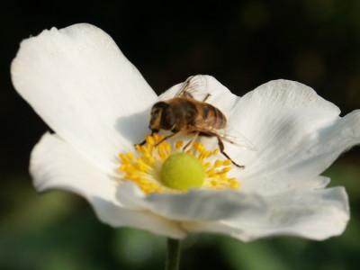 De levende tuin, Anemone met zweefvlieg