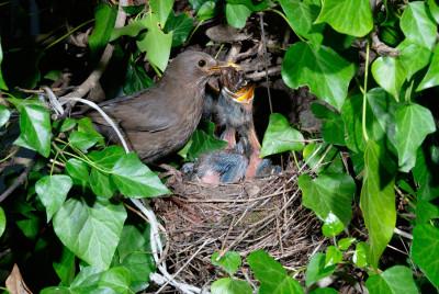 De Buitenkamer, de levende tuin, merels in nest