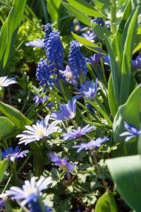 Gratis bloembollenontwerp,Bijzondere Bloembollendag, Anemone blanda met Muscari een combinatie die biodiversiteit vergroot, de Buitenkamer, Grave, Gassel, de levende tuin, bloembollen