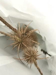 Grote Kaardebol Dipsacus Zaden oogsten uit eigen tuin inheemse  flora