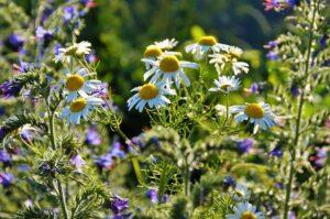 onkruid, inheemse planten, de buitenkamer tuinontwerp, Marion Vermeulen, de Buitenkamer, Gassel