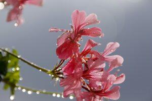 Pelargonium, Geranium, regen, de buitenkamer tuinontwerp, Marion Vermeulen, de Buitenkamer, Gassel